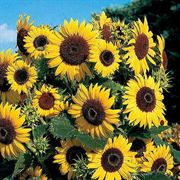 Waooh! Sunflower Seeds