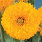 Double Sunking Sunflower Seeds image
