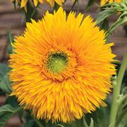 Double Sunking Sunflower Seeds Alternate Image 1