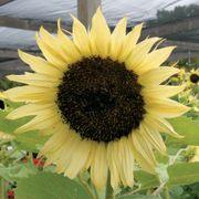 'Italian White' Sunflower Seeds Alternate Image 1