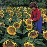 Sunspot Sunflower Seeds Alternate Image 1