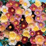 Happy Lights Hollyhock Mix Seeds image