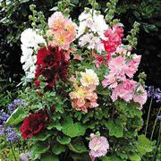 Spring Celebrities Hollyhock Mix Seeds image