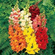 Rocket Hybrid Mix Snapdragon Seeds
