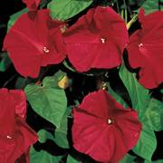 Scarlet O'Hara Morning Glory Seeds image