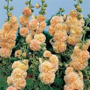 Peaches n Dreams Hollyhock Seeds