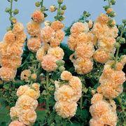 Peaches n Dreams Hollyhock Seeds