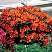Accent Salmon Hybrid Impatiens Flower Seeds