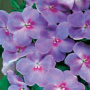 Accent Lavender Blue Hybrid Impatiens Flower Seeds image