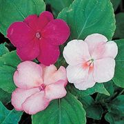 Accent Cranberry Punch Hybrid Mix Impatiens Flower Seeds