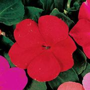 Accent Red Hybrid Impatiens Flower Seeds