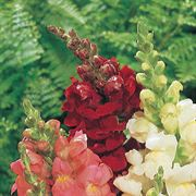 Rocket Red Hybrid Snapdragon Seeds