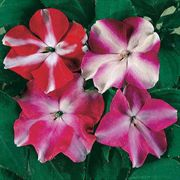 Accent Star Hybrid Mix Impatiens Flower Seeds