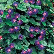 Star of Yelta Morning Glory Flower Seeds image