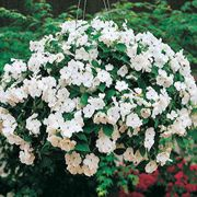 Accent White Hybrid Impatiens Flower Seeds