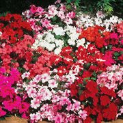 Accent Hybrid Mix Impatiens Flower Seeds image