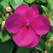 Accent Violet Hybrid Impatiens Flower Seeds