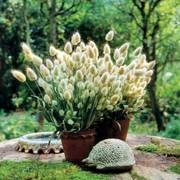 Bunny Tails Ornamental Grass Seeds image