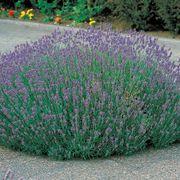 Munstead Lavender Seeds Alternate Image 1