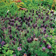 Sancho Panza Lavender Seeds image