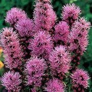 Floristan Violet Blazing Star Seeds image