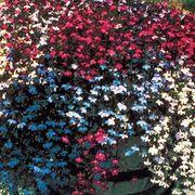 Fountain Mix Lobelia Seeds