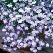 Regatta Blue Splash Lobelia Seeds image