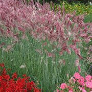 Savannah Melinis Ornamental Grass Seeds image