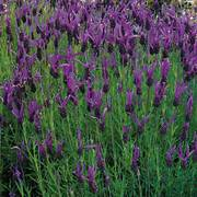 French Long Lavender Seeds image