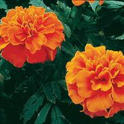 Janie Deep Orange Marigold Seeds image
