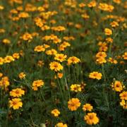 Golden Guardian Marigold Seeds