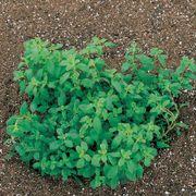 Sweet Marjoram Seeds image