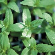 Peppermint Seeds image