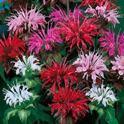 Panorama Mix Bee Balm Seeds image