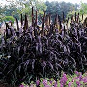 Purple Majesty Ornamental Hybrid Millet Seeds Thumb