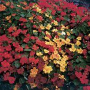Parks Fragrant Giants Nasturtium Seeds