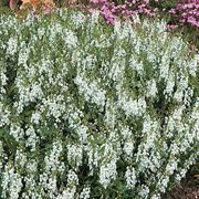Serena™ White Angelonia Seeds