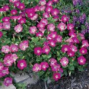 Rosy Dawn Easy Wave Hybrid Petunia Seeds image