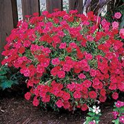 Easy Wave® Red Hybrid Petunia Seeds image