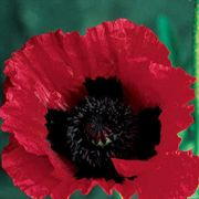 Great Scarlet Poppy Seeds image