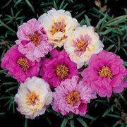 Sundial Passion Fruit Hybrid Mix Moss Rose Seeds