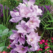 Astra Double Lavender Balloon Flower Seeds