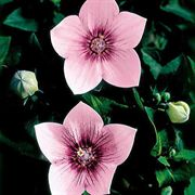 Astra Pink Balloon Flower Seeds image