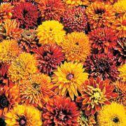 Cherokee Sunset Gloriosa Daisy Seeds image
