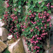 Rhodochiton atrosanguineum Purple Bell Vine Alternate Image 1