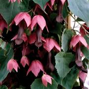 Rhodochiton atrosanguineum Purple Bell Vine image