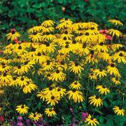 Goldsturm Strain Rudbeckia Seeds