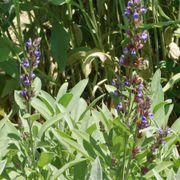 Sage Seeds image