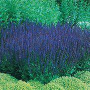 Blue Queen Salvia Seeds image