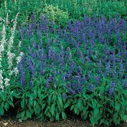 Victoria Salvia Seeds
